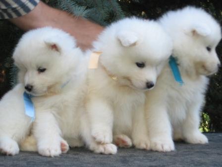 Samoyed puppies od mano siberian img0378 voltagebd Image collections